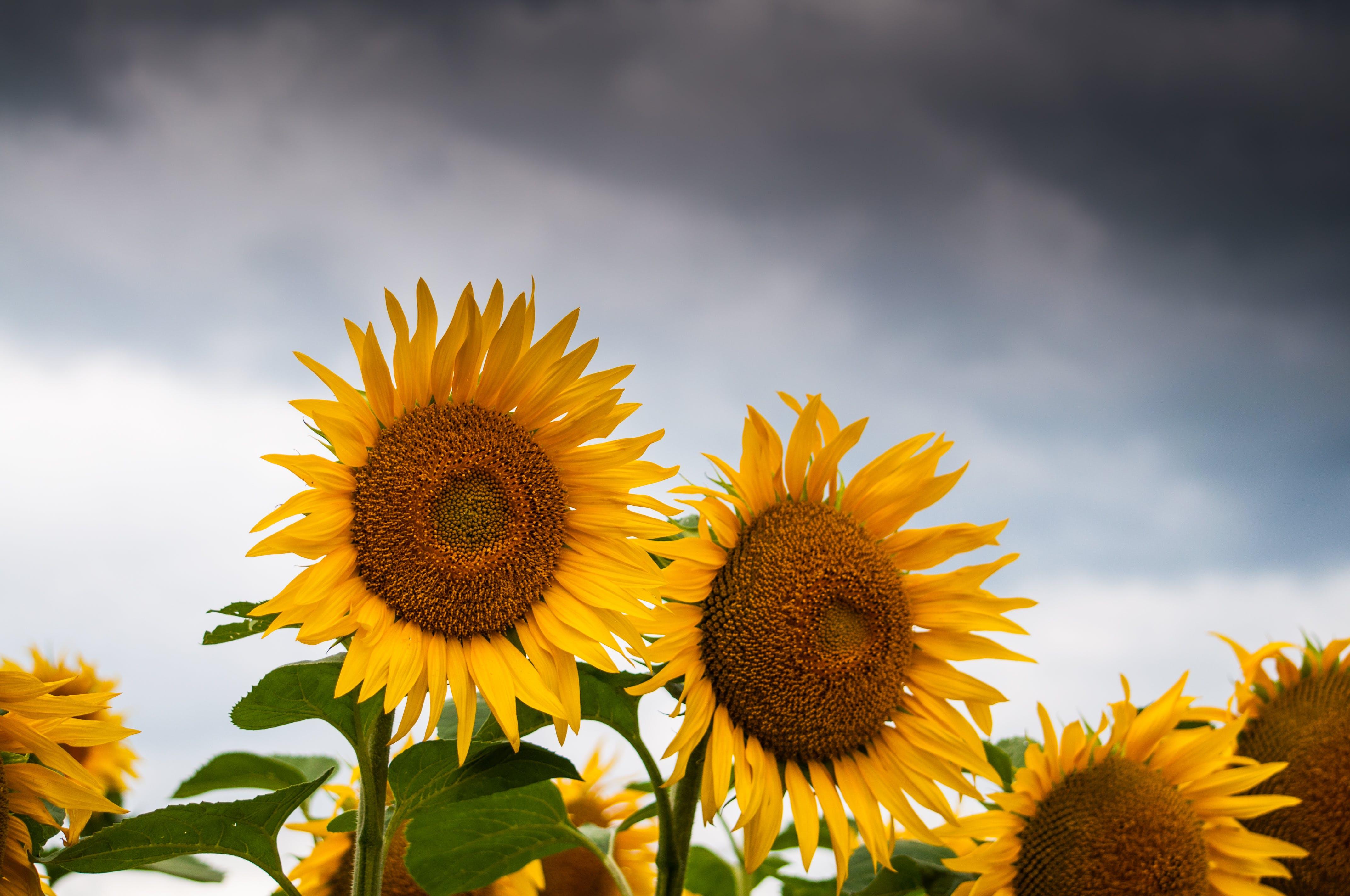 Sunflower Lot