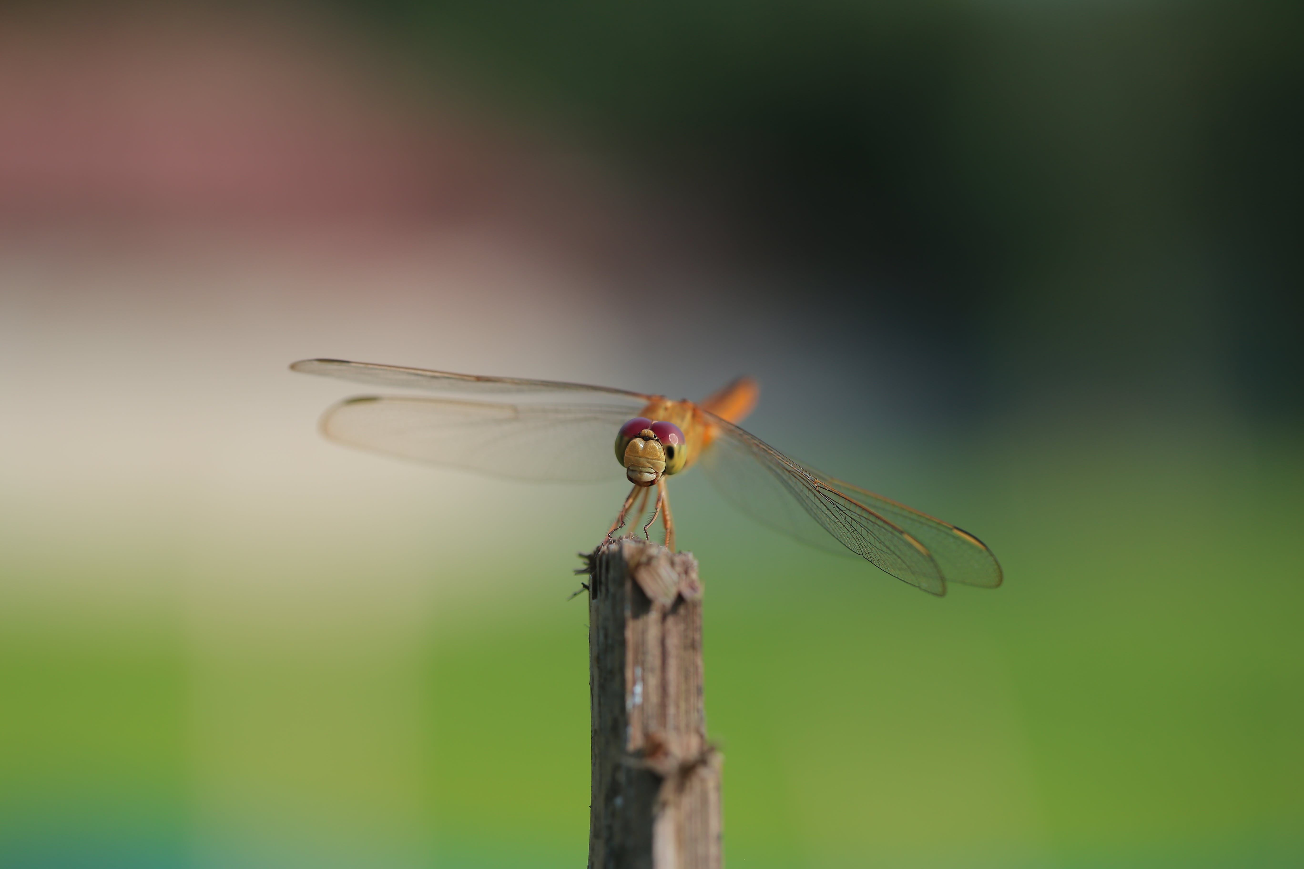 Dragonfly on Shallow Focus Lens
