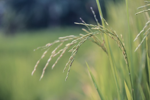 Close Up Photo of Wheat Plant