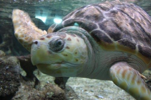 Free stock photo of animal, ocean, oceanarium, turtle
