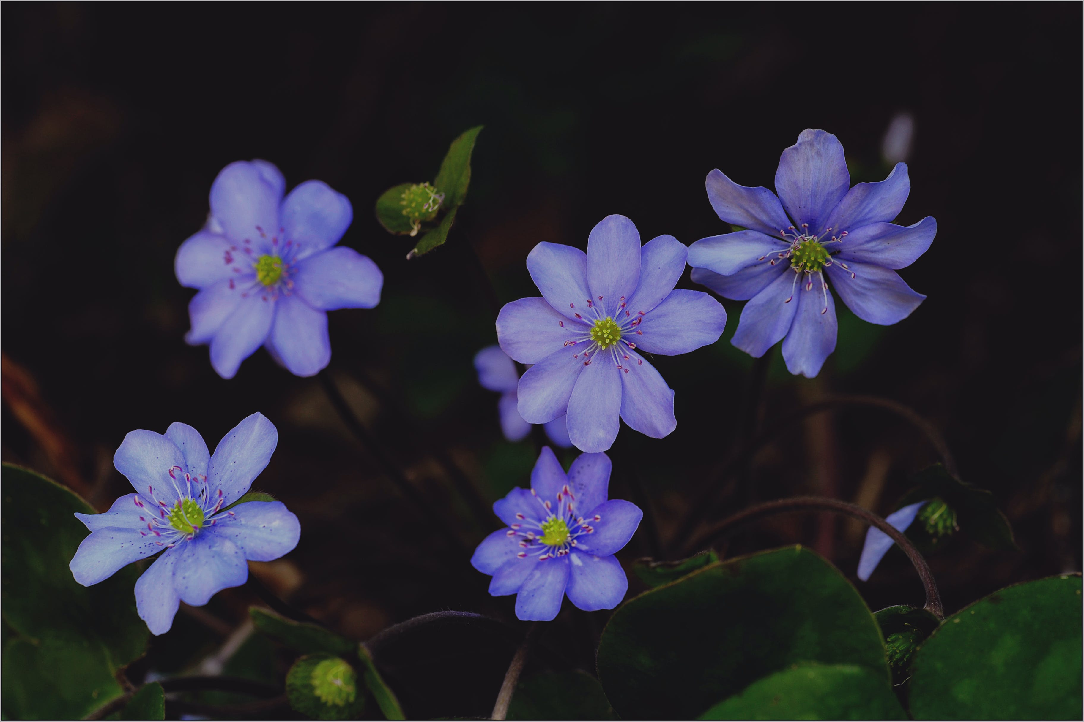 Purple Hepaticas in Bloom Close-up Photo