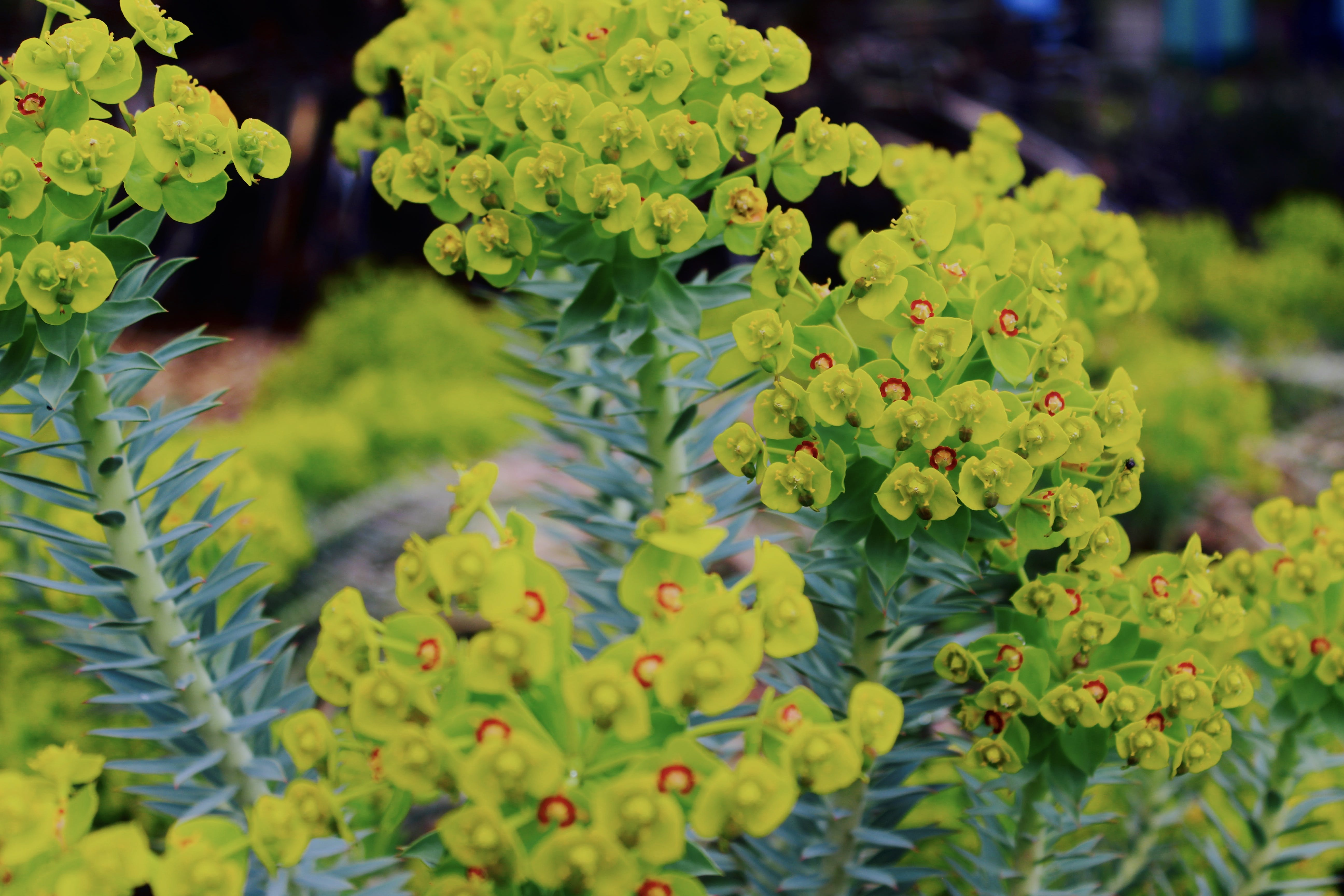 Selective Focus Photography Green Euphorbia Milii Flowers