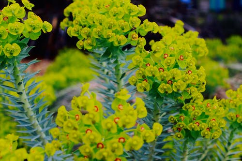 Selective Focus Photography Green Euphorbia Milii Flowers