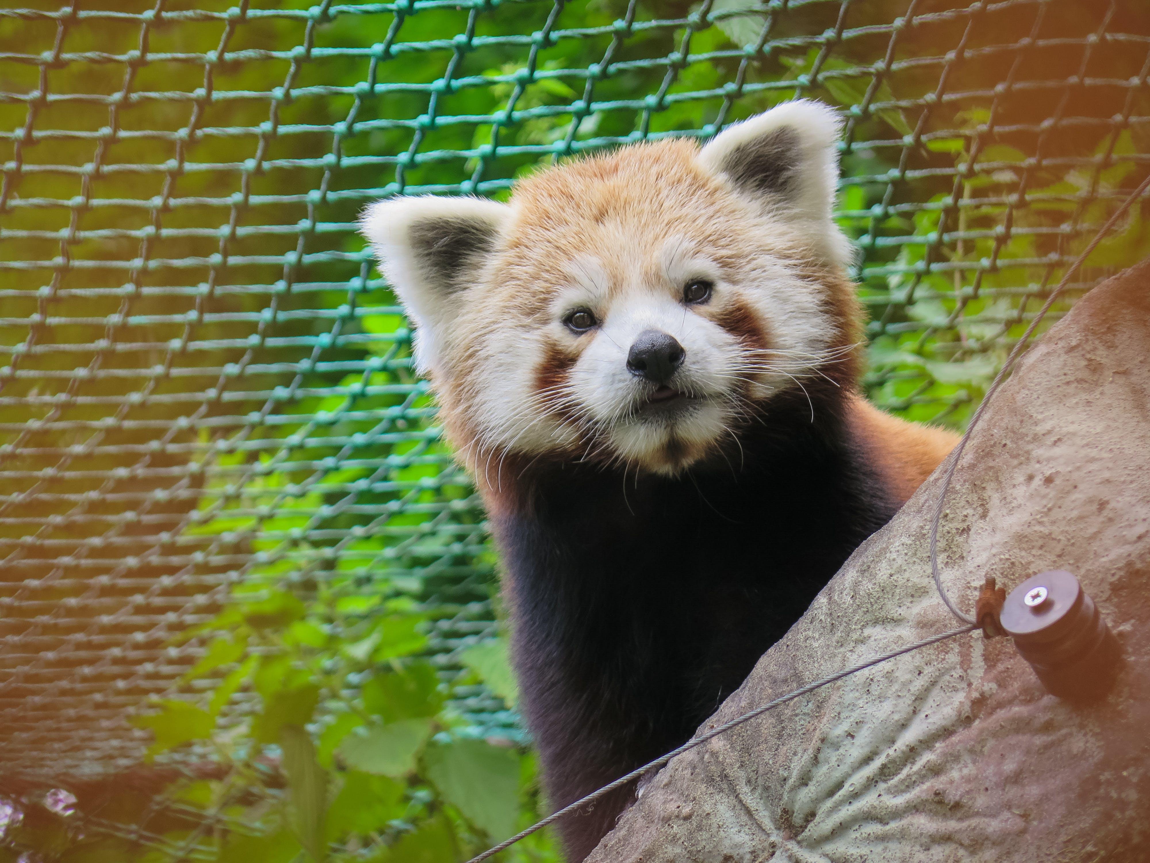 Red Panda Bear Behind Tree