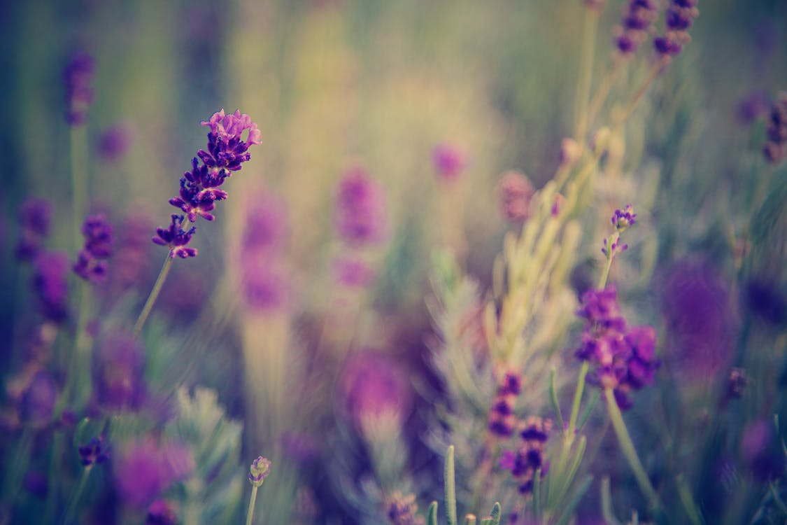 Selective Focus Photo of Lavender Flowers
