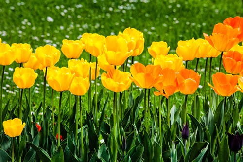 Bright yellow tulips growing in garden