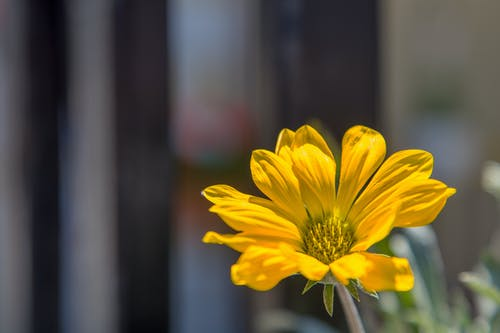 Blooming Gazania bud with yellow petals