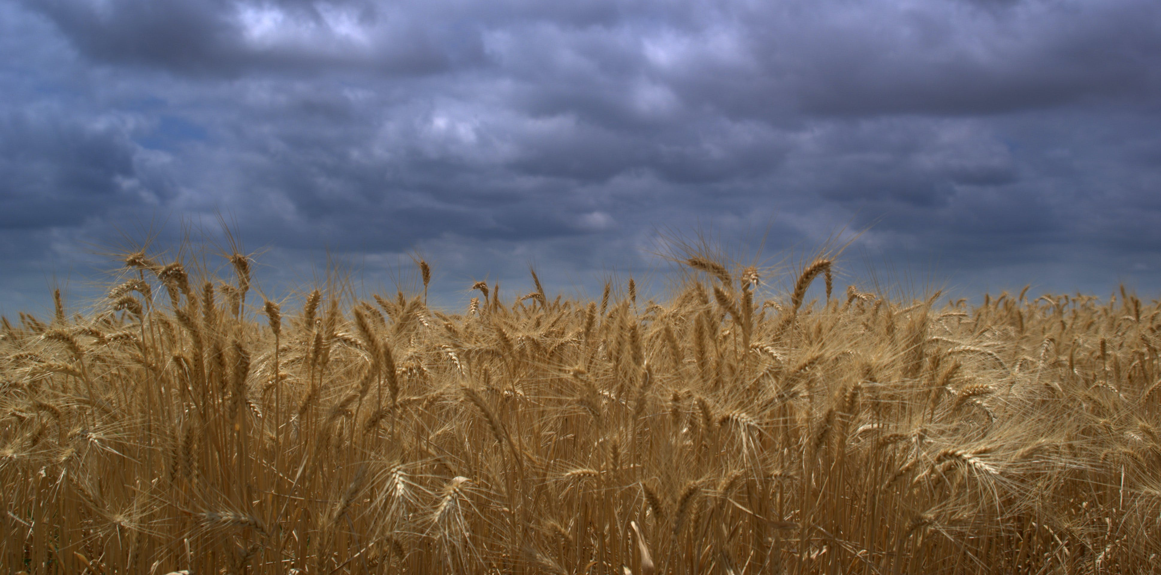 Free stock photo of amber waves, cloudy skies, dramatic sky, texas