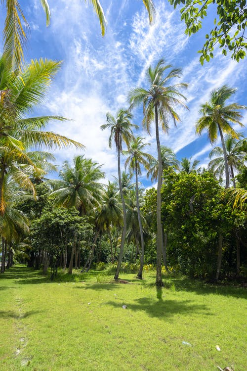 Green Palm Trees Under Blue Sky and White Clouds