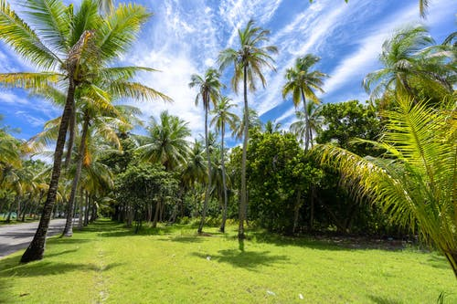 Green Palm Trees on Green Grass Field Under Blue Sky and White Clouds