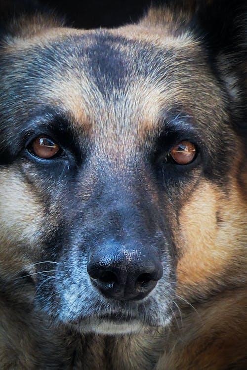 Foto stok gratis fotografi anjing, kepala anjing, mata
