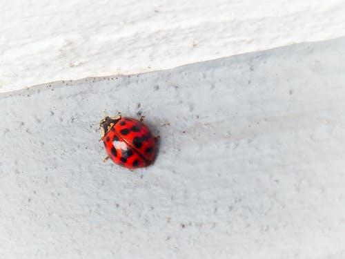 Foto stok gratis kepik, kumbang, ladybeetle