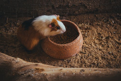 White and Brown Guinea Pig on Brown Soil