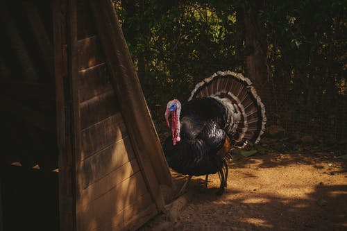 Black Turkey Statue Near Brown Wooden Fence