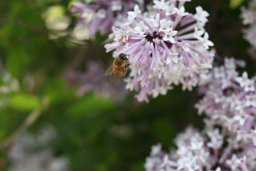 Free stock photo of bee, honeybee, lilac