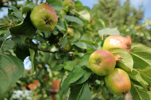 Free stock photo of apple, fruit, ripe