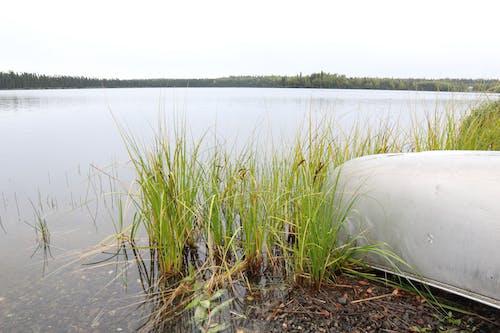 Free stock photo of canoe, lake, reeds