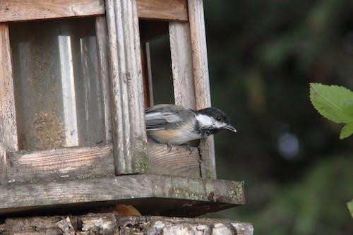 Free stock photo of bird, bird feeder, chickadee