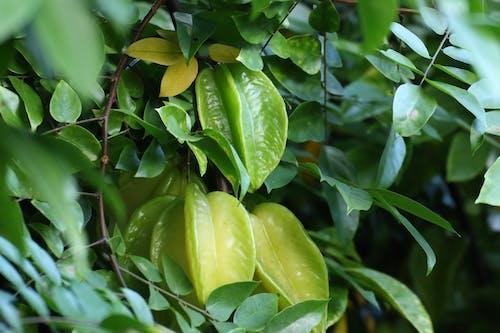 Free stock photo of starfruit