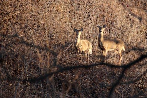 Free stock photo of animals, deer, wildlife