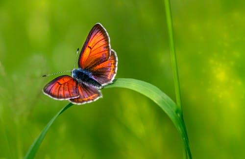 Fotos de stock gratuitas de alas de mariposa, cobre con bordes morados, fauna