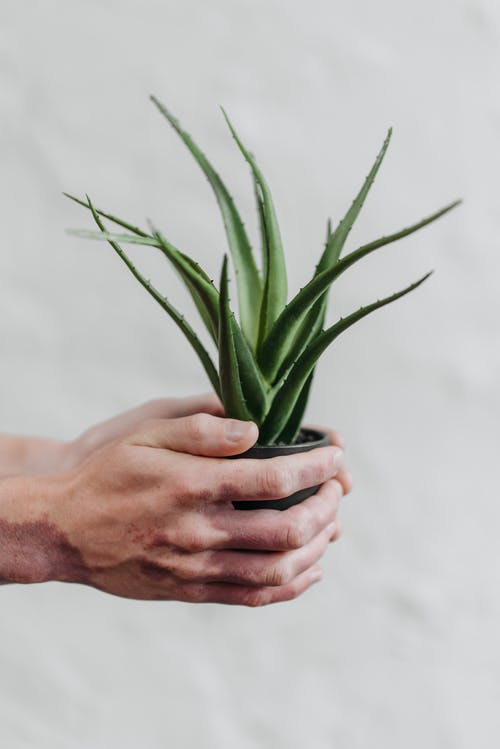 Person Holding Green Plant in Pot