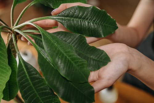 Free stock photo of botany, care, hands human hands