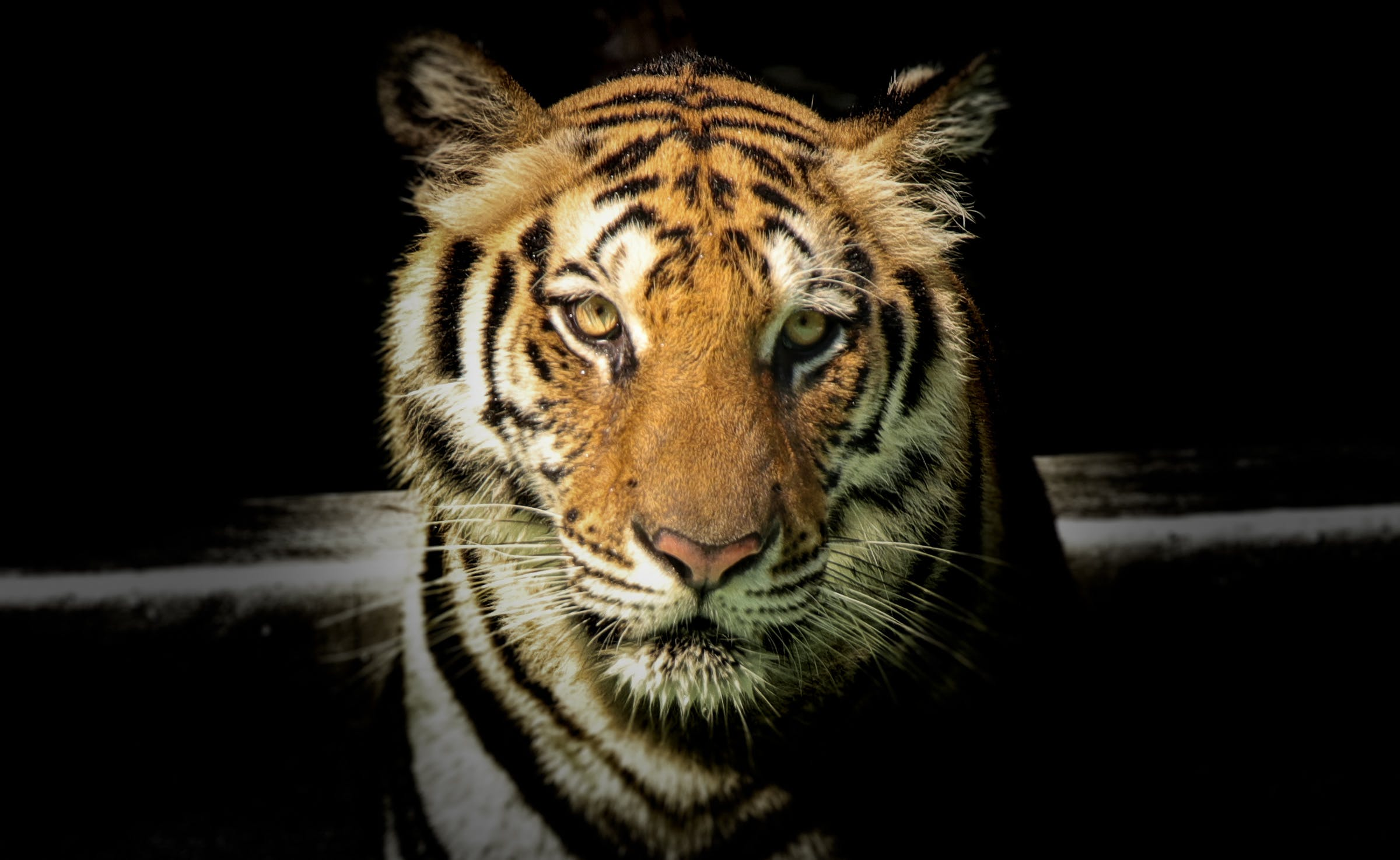 Wildlife Photography of Tiger