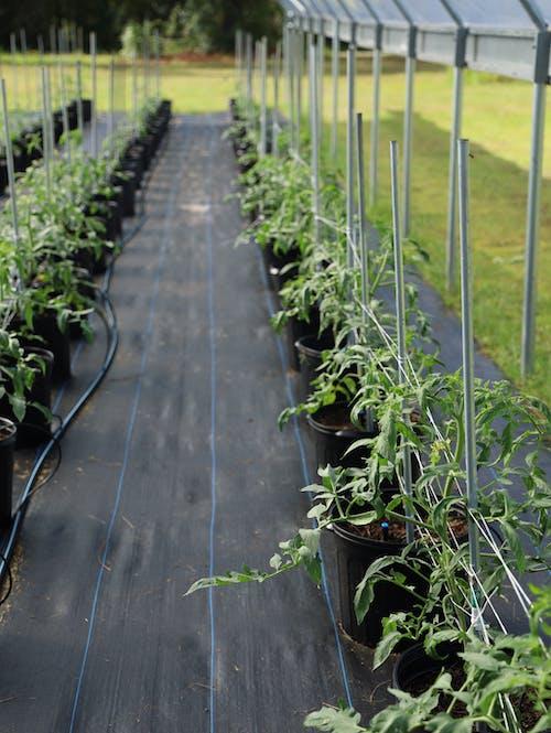 Vertical Garden of Tomatoes