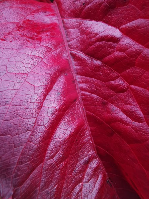 Free stock photo of abstract, leaf, red leaf