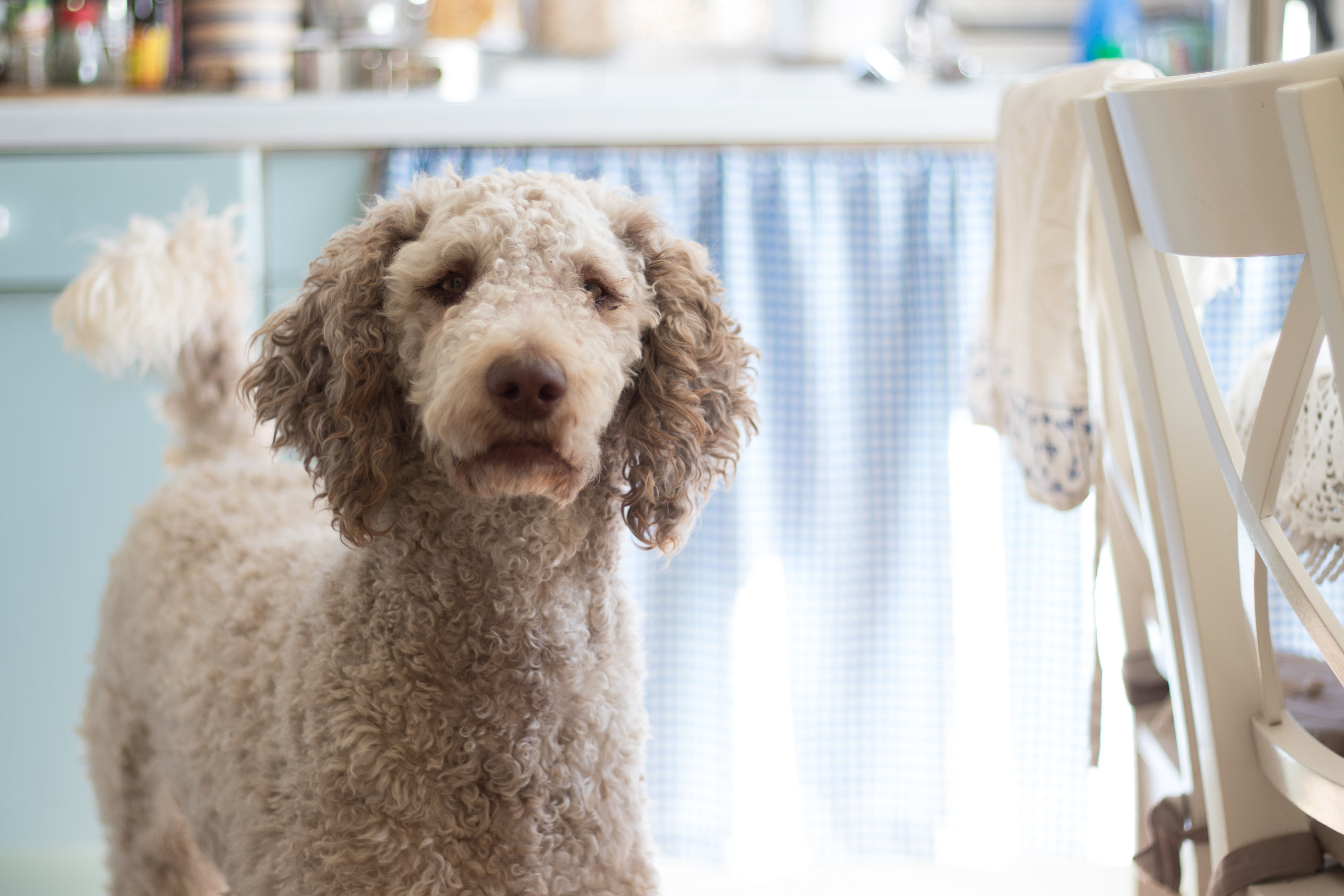 Close-Up Photography of Poodle