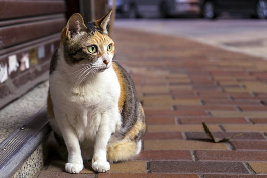 Brown and White Tabby Cat Sitting on Brown Brick Pathway