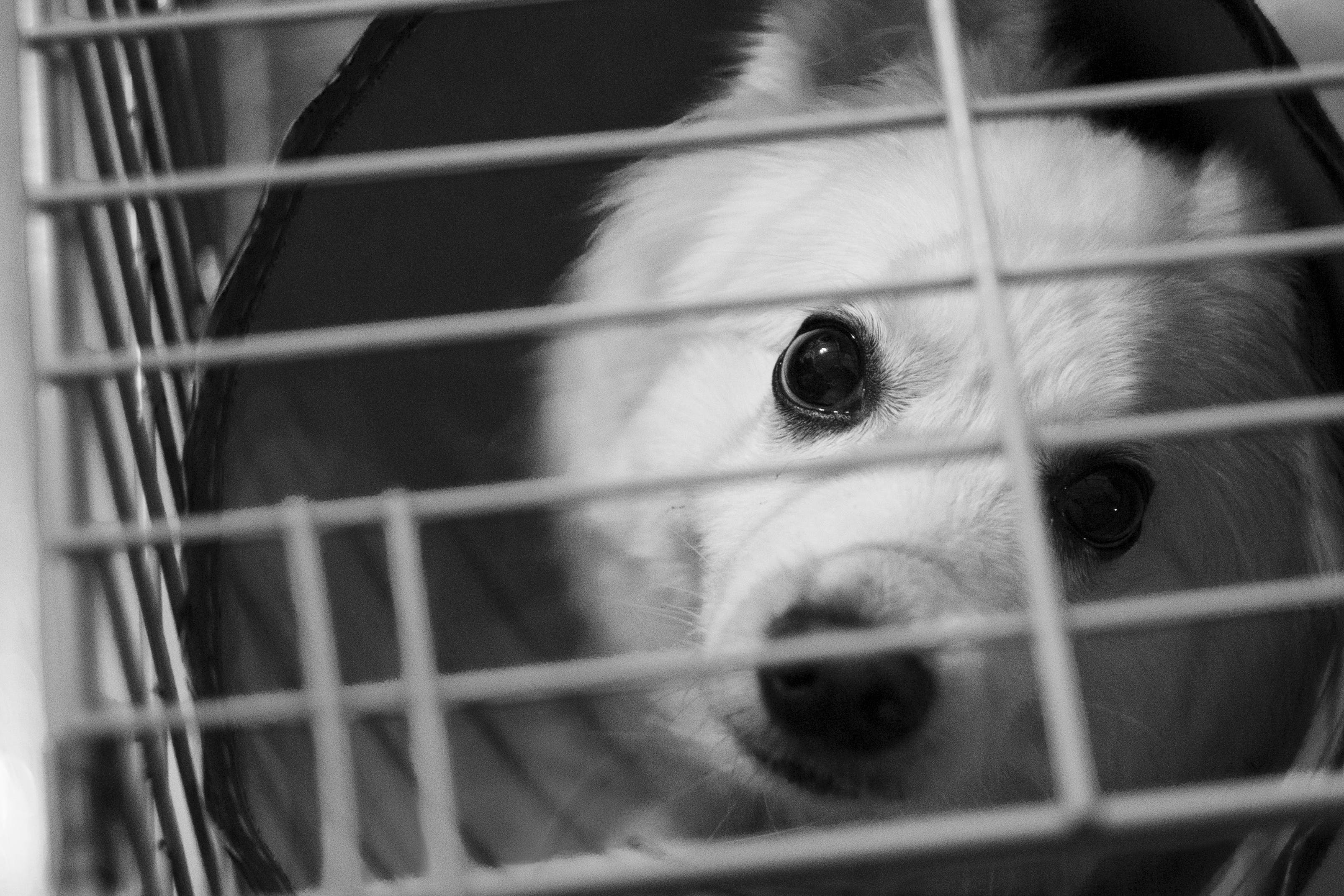 White Dog Inside the Cage