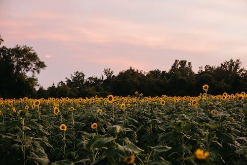 Foto stok gratis bidang, bunga liar, bunga matahari