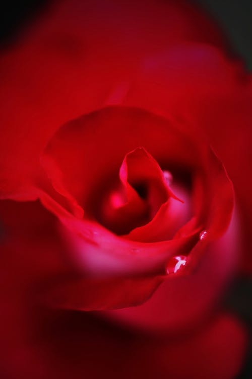 Free stock photo of red, red flower, red rose