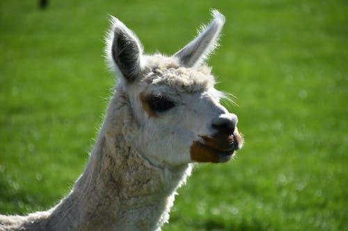 Free stock photo of animal, animal portrait, close up
