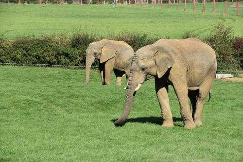 Free stock photo of african elephant, animals, elephants