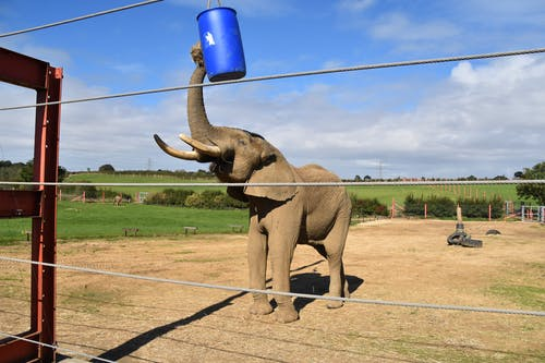 Brown Elephant Drinking Water from Blue Plastic Cup
