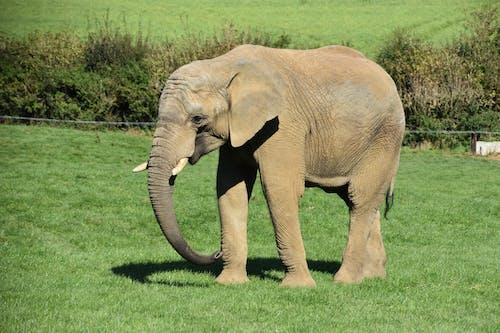 Free stock photo of african elephant, animal, barbaric