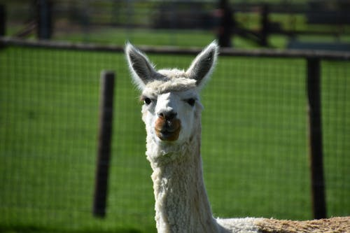 Free stock photo of alpaca, animal, llama