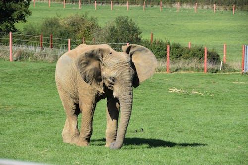 Free stock photo of african elephant, animal, elephant
