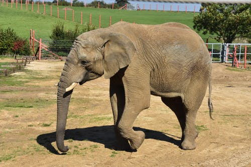 Brown Elephant Walking on Brown Soil