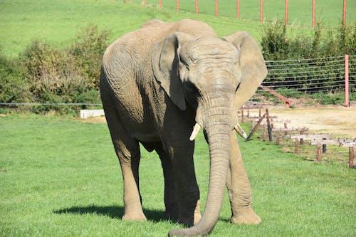 Free stock photo of animal, animal photography, elephant