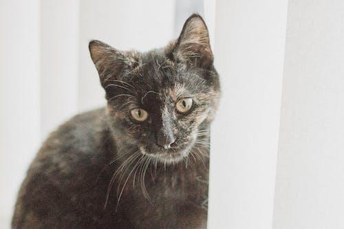Безкоштовне стокове фото на тему «великий план, вуса, домашній, домашній кіт»