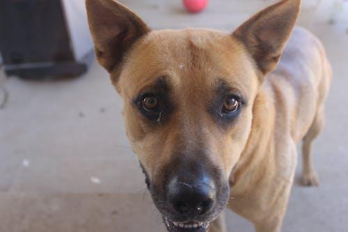 Immagine gratuita di cane, cucciolo, marrone, occhi