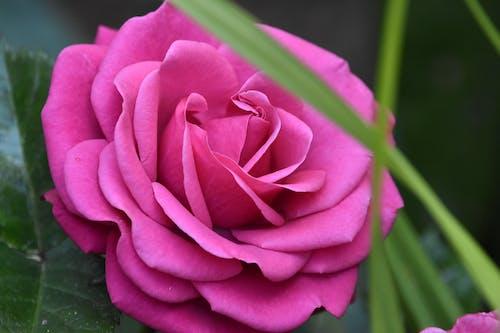 Free stock photo of love, pink rose, purple