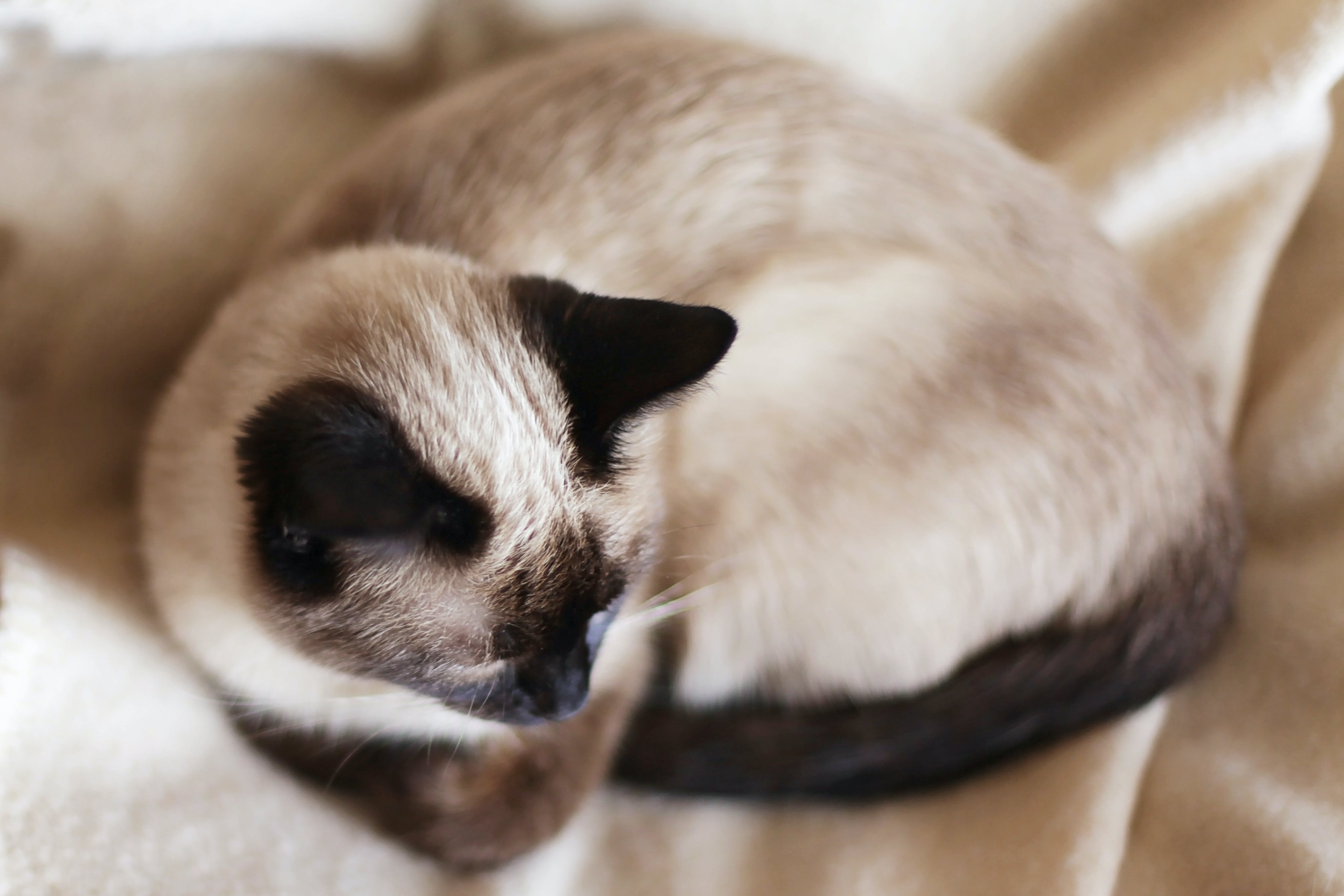 Free stock photo of cat, whiskers, siamese cat, black ears
