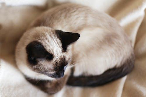 คลังภาพถ่ายฟรี ของ หนวดสัตว์, หูดำ, แมว, แมวง่วง