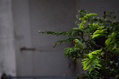 Free stock photo of after rain, parakeet, parrot