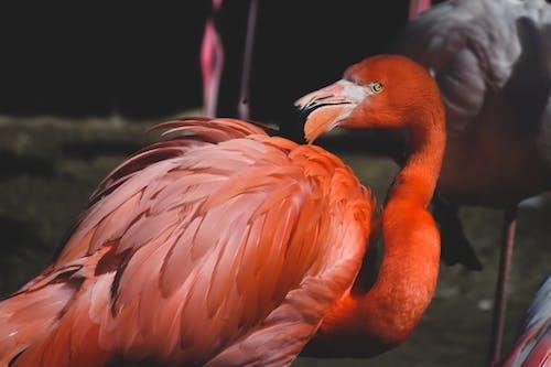 エレガント, フラミンゴ, 動物の写真の無料の写真素材